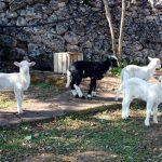 Le caprette di Chiara e le piantine di Lorenzo…
